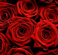 week of romance, red roses