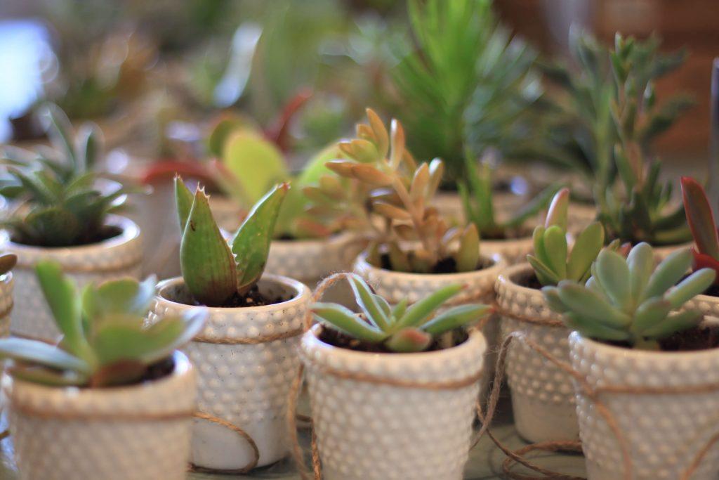 Succulent Favours